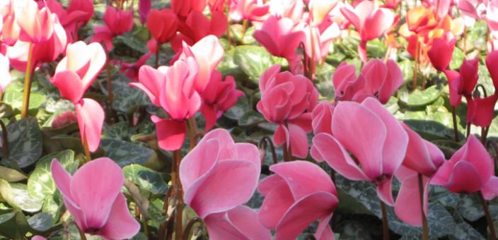 Biljke koje cvetaju zimi
