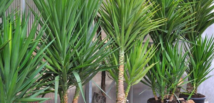 Sobne biljke – Juka