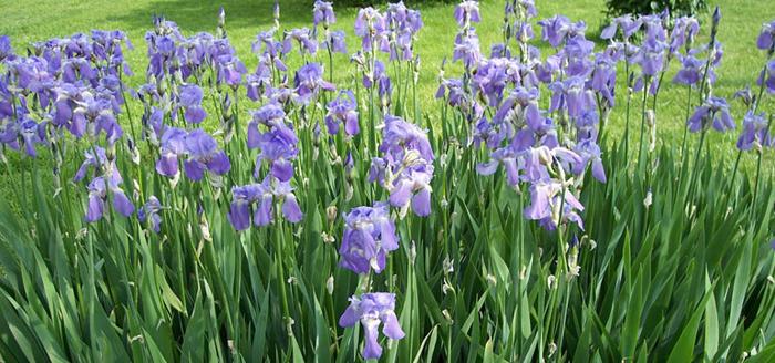 Baštensko cveće